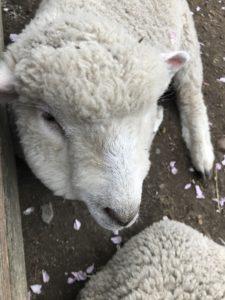 ・人懐こい子羊(牧場にて)